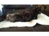 3 gorgeous black kittens left