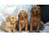 Red and Apricot F1B Goldendoodle Golden Doodle puppies for sale
