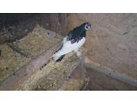 Kurdish pigeons for sale
