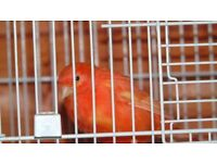 colour canaries