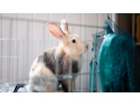 Male Lionhead rabbit- Includes play pen & travel cage