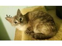 Ragdoll x Bengal cat/kitten **still available 21/5**