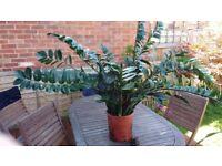 Beautiful large live Zamioculcas plant.£20 ono