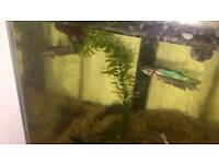 Betta fish females