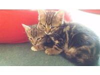 Two beautiful friendly male kittens 8 weeks tomorrow