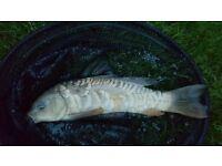 3 carp fish