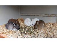 Beautiful Friendly Purebred Netherland Dwarf Baby Rabbits