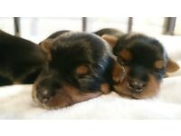 Yorkshire terrier puppies for sale!!!