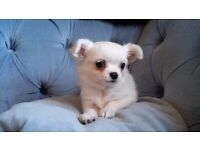 Outstanding Pedigree Long Coat White Chihuahua Puppy