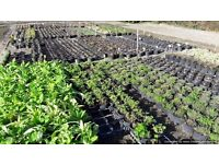 Seasonal production worker on a wholesale nursery - potting, plant preparation and cultural work