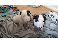 English bullterier puppies