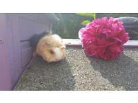 Baby guinea pigs peruvian and coronet