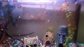 Trpoical fish fry, mollies platties and guppies