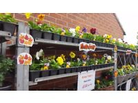 Autumn / Winter Garden Pansy Bedding Plants - Ready To Plant Now Mixed Colours