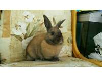 Female lop x lionhead rabbit