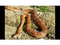 Beautiful friendly corn snake