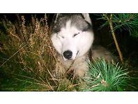 Siberian Husky , well trained. Needs loving home