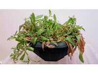 Houseplants For Sale! MAKE AN OFFER: Wandering Jew, Mother-of-Thousands, Poinsettia, Ficus