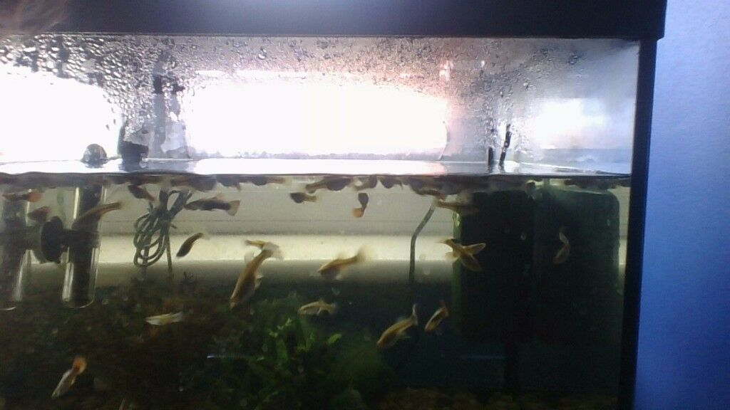 guppies for sale in Hampshire !