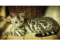 Silver Bengal TICA 5 Month Old Female on Active