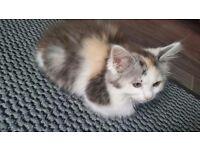 Fluffy kitten for sale