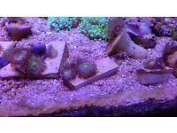 Marine aquarium rainbow woodstock zoa frag