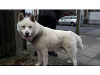 JAPANESE AKITA FOR SALE!!!