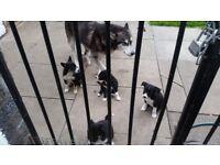 Malamute cross collie pups