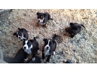 Patterdale x jack russel puppies for sale