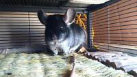 Male Chinchilla for good home