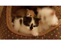 GORGEOUS FLUFFY KITTENS FOR SALE (Part Persian & Ragdoll Mixed Breed Long haired)