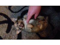 pup chihuahua