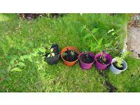 SELECTION OF GARDEN FLOWER PLANTS IN 5 POTS FUCHSIA, LONICERA, EUPHORBIA, HIMALAYAN HONEYSUCKLE