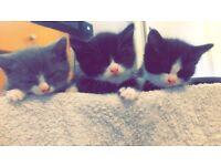 Kittens for sale - Black&white, Grey