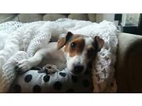 3 Beautiful Jack Russell Pups