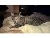 tabby cat 2 years old