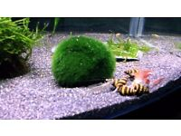 Assassin snails 5x for £5