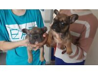 2 french bulldogs blue tan and sable tan