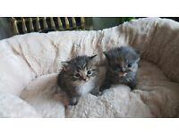 ragdoll cross bsh kitten