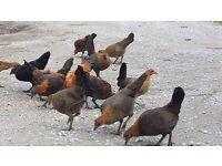 Old English Game Bantams Chickens