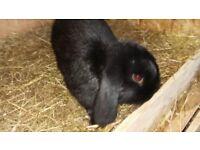 black lop bunny