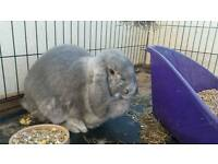 Female giant French lop rabbit for sale