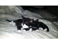 Free to good home. Kittens 12wks old females