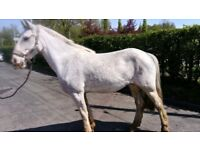 14hs Blagdon mare REDUCED