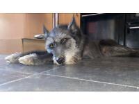 4 Year old whippet cross Siberian husky