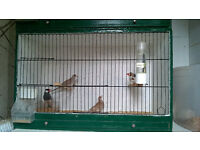 Zebra and Bengalese Finches for sale