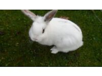 white female rabbit approx 7 months