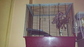 Two female rats 18 months old