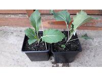 2 large pots of Cabbage (January King) veg plants