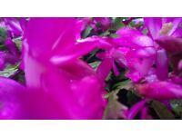 Beautiful Christmas Cactus Plants for sale - Schlumbergera Enigma